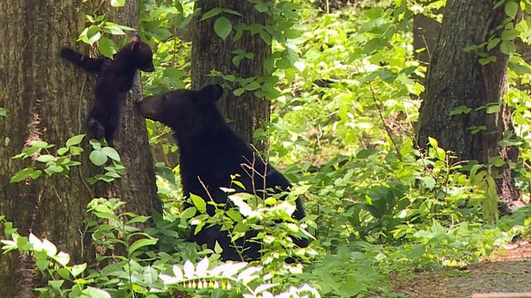 Great SMoky Mountains Black Bear mother momma cub tree GSMNP Smokies