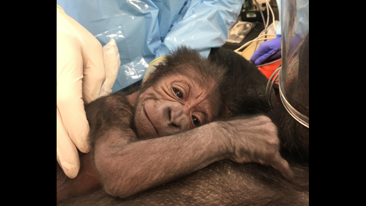 <p>It's a typical day for anyOB/GYNto assist bringing life into our world. However, last Friday OB/GYNRebekah McCurdy delivered a different type of baby than she was use to... a5lbbaby gorilla.</p>