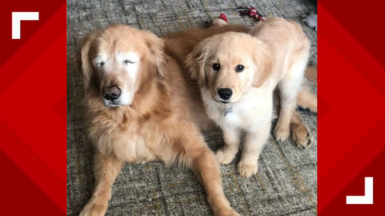 Best buddies: Blind golden retriever gets by with a little help from his friend