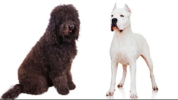 Welcome to the Club: Two new dog breeds recognized for 2020