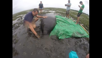 Manatees left high and dry by Irma rescued