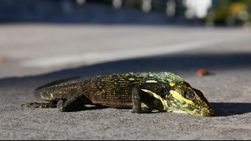 Look out! Cold snap could make iguanas fall from trees in Florida