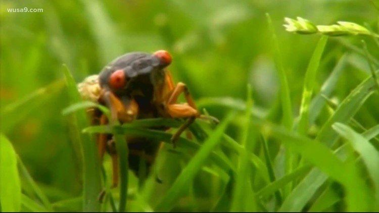 Brood X cicadas delay White House press plane