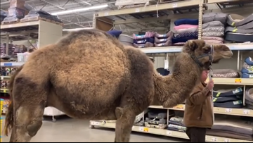 'All leashed pets are welcome' | Michigan man brings camel to PetSmart